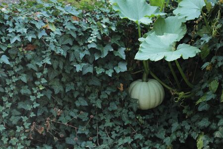 A green pumpkin hanging down a wall covered with ivy