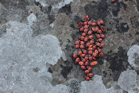 A group of firebugs sitting on a wall with lichen Stockfoto