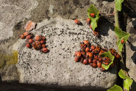A stone wall with ivy, lichen and a group of firebugs