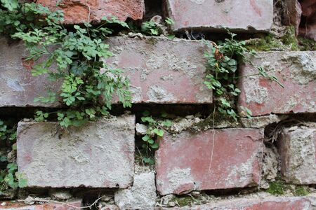 Plants growing in a brick wall and building their own ecosystem Stockfoto