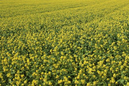 Field of yellow mustard (Sinapsis alba) in autumn. The seeds are used to make mustard and it is also a source of nutrients.