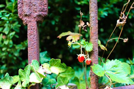 Rusty antique fence with wild strawberries growing beside it Reklamní fotografie