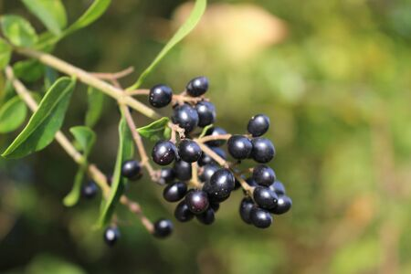 Close up of wild privet berries with selected focus and shallow depth of field 스톡 콘텐츠