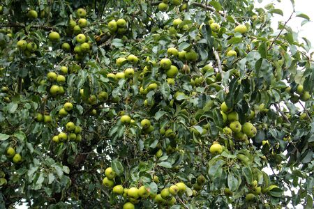 Green apples on the branches of a apple tree 스톡 콘텐츠
