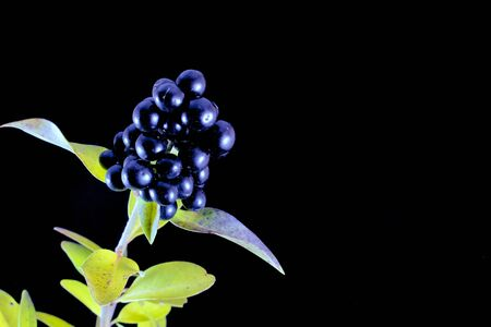 Branch with wild privet berries in front of black background