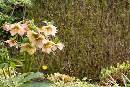 Group of pink blooming flowers of the helleborus orientalis, also called lenzrose or orientalische Nieswurz Stock Photo