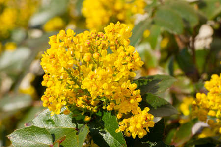 Close up of yellow flowers of a mahonia, Berberis aquifolium or Gewöhnliche Mahonie