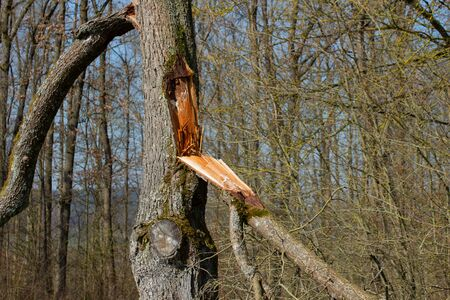 Branch torn off a tree trunk during a storm Archivio Fotografico