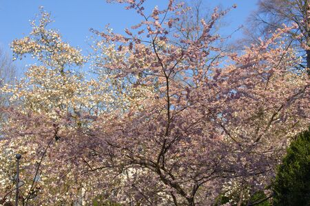 Ornamental cherry tree and magnolia tree with white and pink flowers, Prunus serrulata and Magnolia grandiflora 版權商用圖片