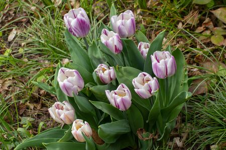 Group of white and purple tulips with bokeh, tulipa