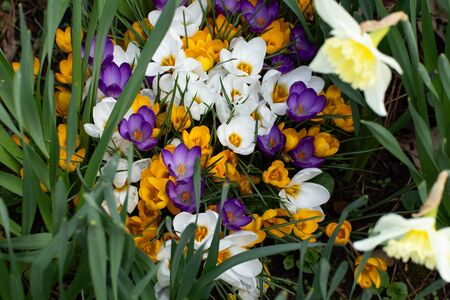 Group of white, yellow and purple crocus or saffron growing between daffodil, Crocus flavus