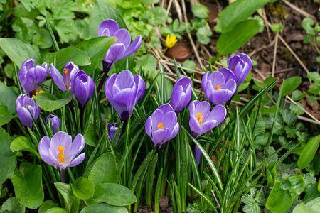Close up of violet saffron crocus in spring Standard-Bild