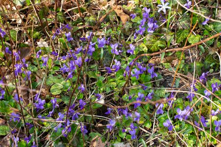 Wild growing violets between dry twigs and leaves in the forest, Viola reichenbachiana 免版税图像