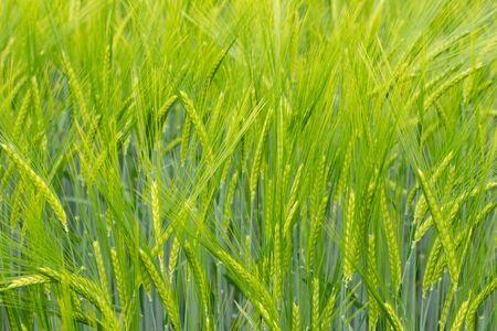 Green Barley Field for natural background, Hordeum vulgare or Gerste