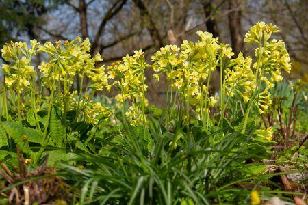 Horizontal close up of cowslip or primrose, Primula veris