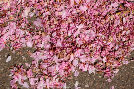Pink cherry flower petals fall on the paved road for background