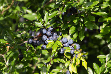 Blue fruits or berries of blackthorn, also called Prunus spinosa or Schlehdorn