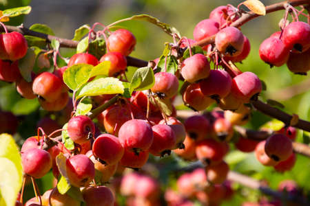 Fruits of a red sentinel apple tree, a ornamental apple also called ruber custos, christmas apple or zierapfel Banque d'images
