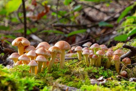Side view of gray leaved sulfur head mushroom, also called Hypholoma capnoides or Graublaettriger Schwefelkopf 스톡 콘텐츠