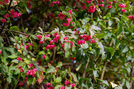 Close up of flowers with fruits of a spindle bush, also called Euonymus europaea or Pfaffenhuetchen, shallow DOF, bokeh