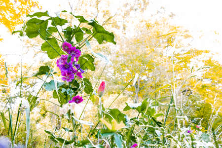 Purple flowers of a wild mallow with overexposed background with copy space