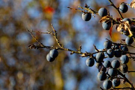 Close up of blue blackthorn berries Stok Fotoğraf