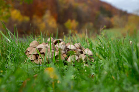 Close up of a group of many Mycena mushrooms growing in the grass 版權商用圖片