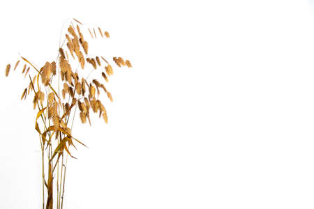 Chasmanthium latifolium or wood oats isolated on white background with copy space, also called Nordseehafer