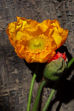 Yellow poppy in front of wood background, also called papaver Imagens