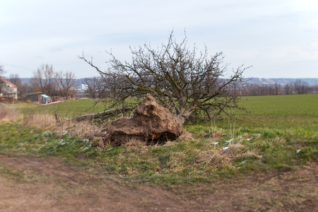 storm damage, falling tree with roots at one edge of a field, blurring at the edge