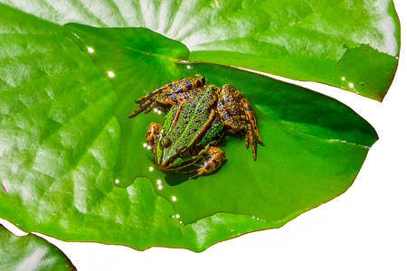a beautiful water frog sits in the sun on a green water lily leaf, the sun glitters in the water on the leaf - cutout withe copyspace on a white background