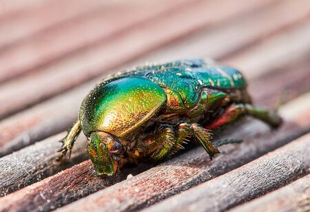 green golden june beetle or cockchafer detail view sitting on a wooden deck in the sun. You can see the eyes and fine hair on the legs an the chitin cover Stock fotó