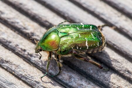 green golden june beetle or cockchafer detail view sitting on a wooden deck in the sun. You can see the eyes and fine hair on the legs an the chitin cover, view form the top Stock fotó