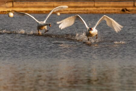 Mute swans being aggressive and fighting on Harthill ponds.