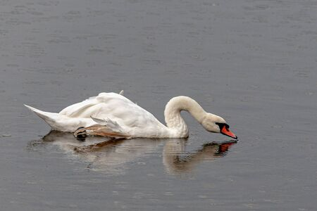 Swan reflecting in the water on a rainy day.