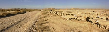 navarra: image of a sheperd with the cattle in Las BArdenas, Navarra, Spain