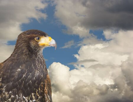 predatory: close up of a milano, an european predatory bird