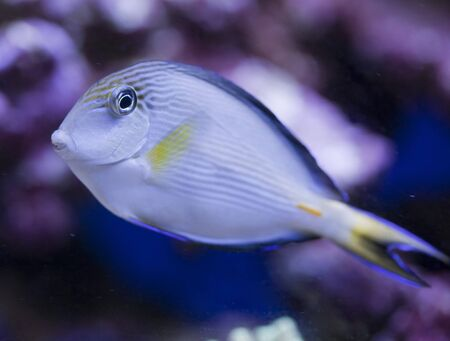 tropical animal in a salt water fish tank aquarium under water. Flash light can kill the animals so the photo was taken with available lights and reflectors  Stock Photo - 4481184