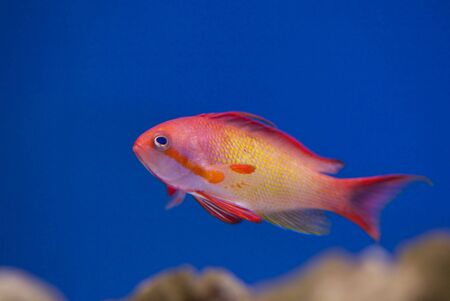 tropical animal in a salt water fish tank aquarium under water. Flash light can kill the animals so the photo was taken with available lights and reflectors  photo
