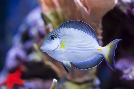 paracanthurus: tropical animal in a salt water fish tank aquarium under water. Flash light can kill the animals so the was taken with available lights and reflectors