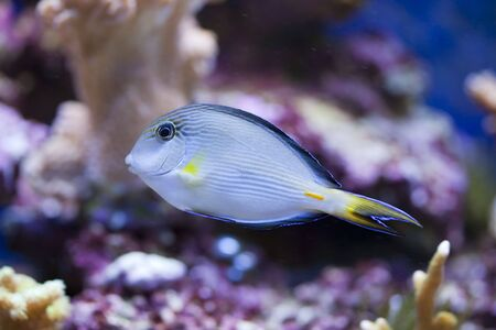 paracanthurus: tropical animal in a salt water fish tank aquarium under water. Flash light can kill the animals so the photo was taken with available lights and reflectors