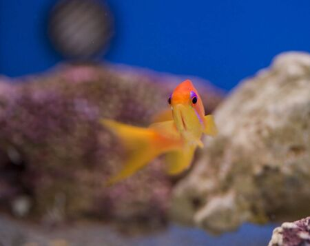anthias: tropical animal in a salt water fish tank aquarium under water. Flash light can kill the animals so the photo was taken with available lights and reflectors
