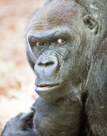 image of a big male silverback gorilla with some expressions Stock Photo - 5467270