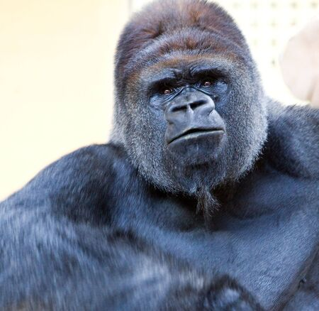 extintion: image of a big male silverback gorilla with some expressions Stock Photo