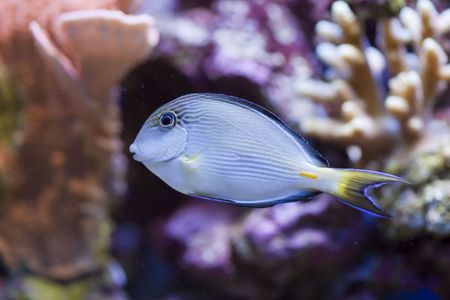 tropical animal in a salt water fish tank aquarium under water. Flash light can kill the animals so the photo was taken with available lights and reflectors  Stock Photo - 5741234