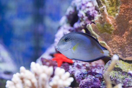 tropical animal in a salt water fish tank aquarium under water. Flash light can kill the animals so the photo was taken with available lights and reflectors  Stock Photo - 5741256