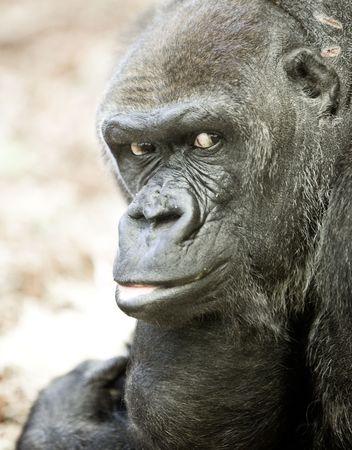evolucion: imagen de un gorila espalda plateada macho grande con algunas expresiones Foto de archivo