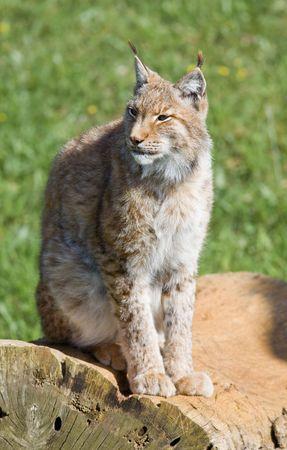 iberian: in via di estinzione bella lynx pardinus o lince pardina aka la lince iberica Archivio Fotografico