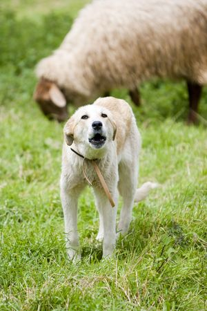 sheperd: a sheperd dog barking to the sheep in the field Stock Photo