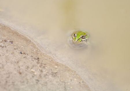 common frog in a pond looking at the camera photo